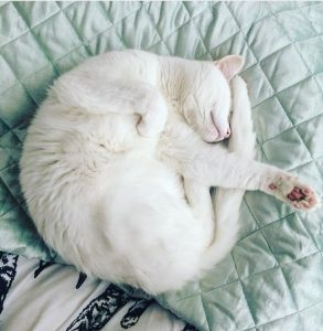white-cat-curled-up