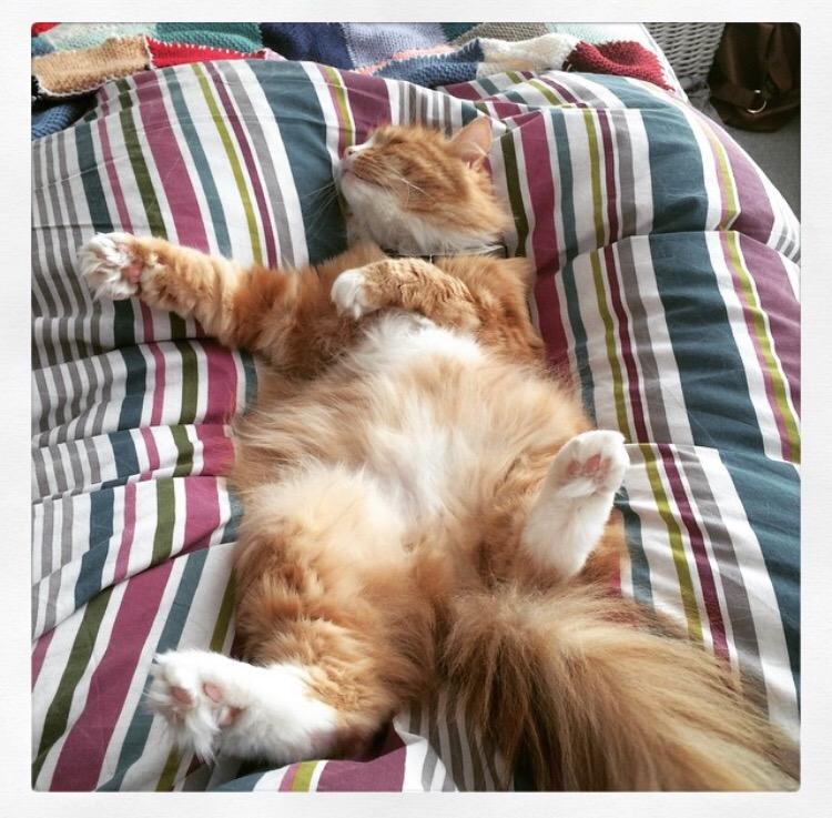 fluffy-ginger-cat-sleeping-on-back