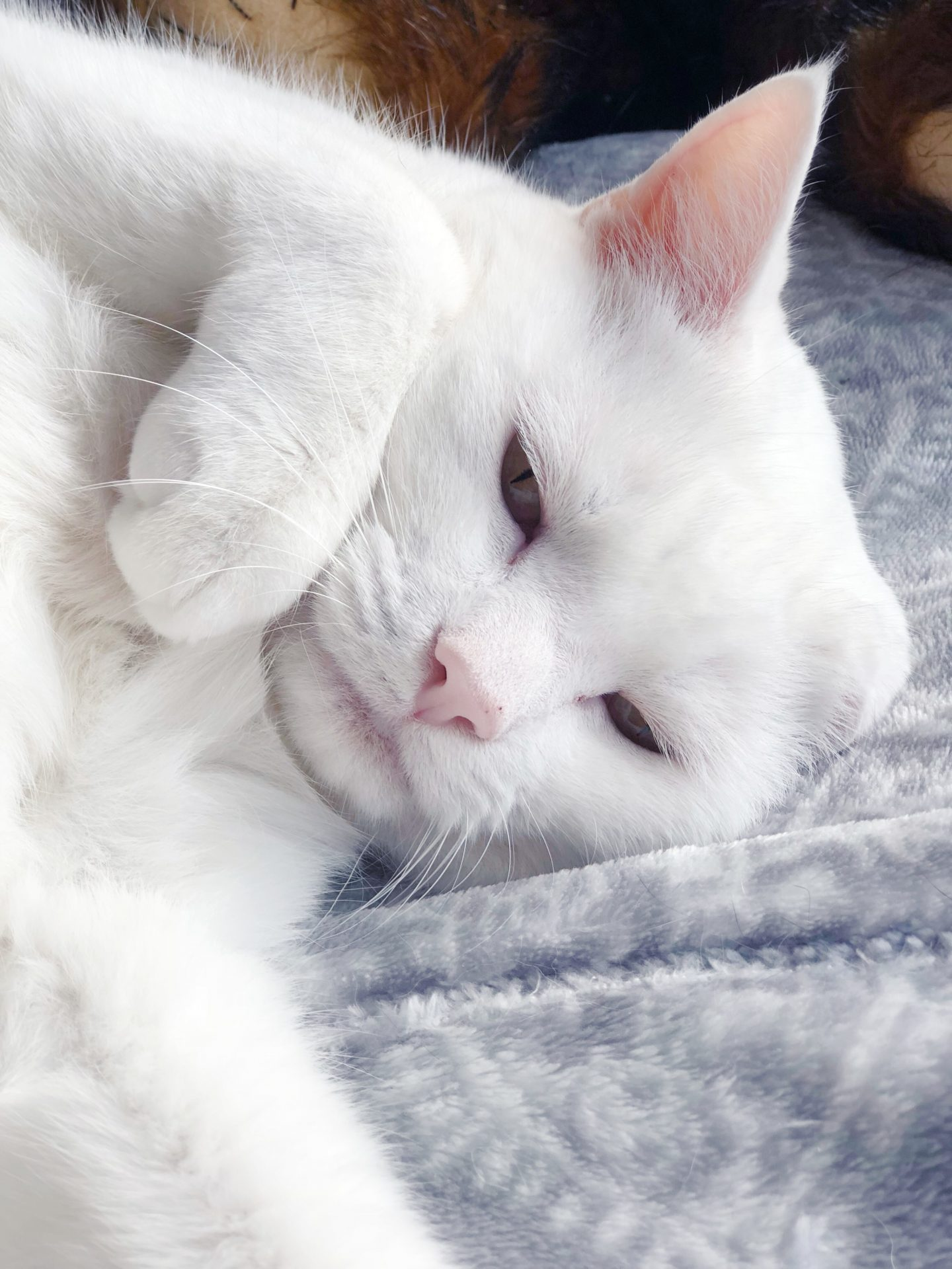 white-cat-close-up